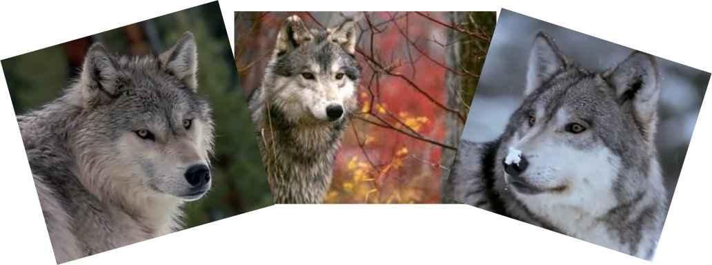 A farkast a nagy Szellem küldte