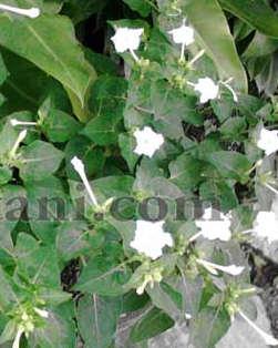Jual benih (biji) bunga pukul empat / bunga mekar sore (Mirabilis Jalapa)