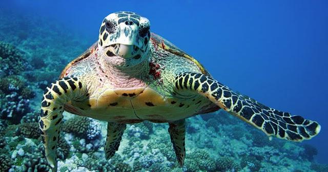 Maredolce la tartaruga carretta for Tartarughe grandi