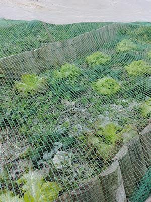 Orto di dicembre: lattughe e spinaci