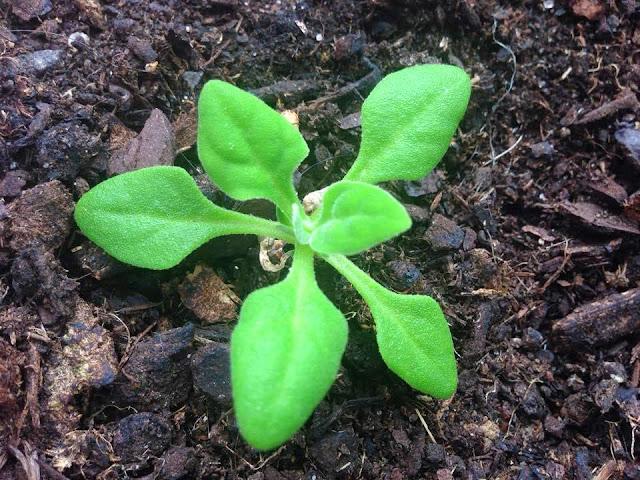 Como Cultivar ESPINAFRE DA NOVA-ZELÂNDIA (Plantar)