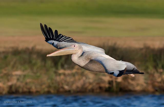 Great White Pelican Woodbridge Island - Canon EOS 7D Mark II / 400mm Lens