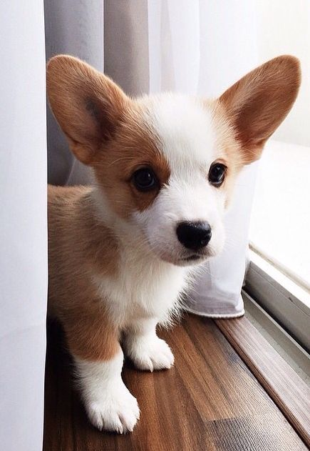Cute Corgi Puppy