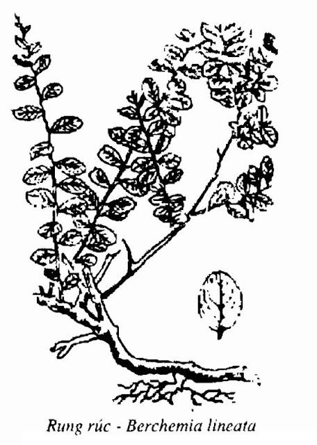 Hình vẽ Cây Rung Rúc - Berchemia lineata - Nguyên liệu làm thuốc Chữa Tê Thấp và Đau Nhức