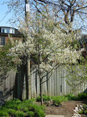 Serviceberry (Amelanchier x grandiflora 'Autumn Brilliance') spring blooms in a Riverdale ecological garden by garden muses-not another Toronto gardening blog