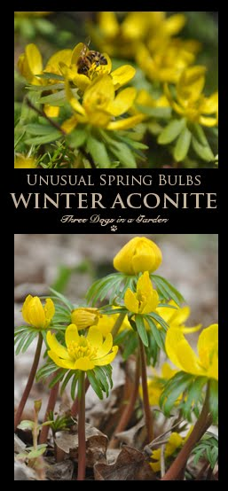 Unusual Spring Bulbs: Winter Aconite, Eranthis Hyemalis