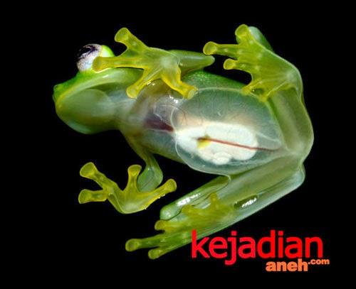 Katak Aneh Bertubuh Transparan Mirip Boneka Kermit