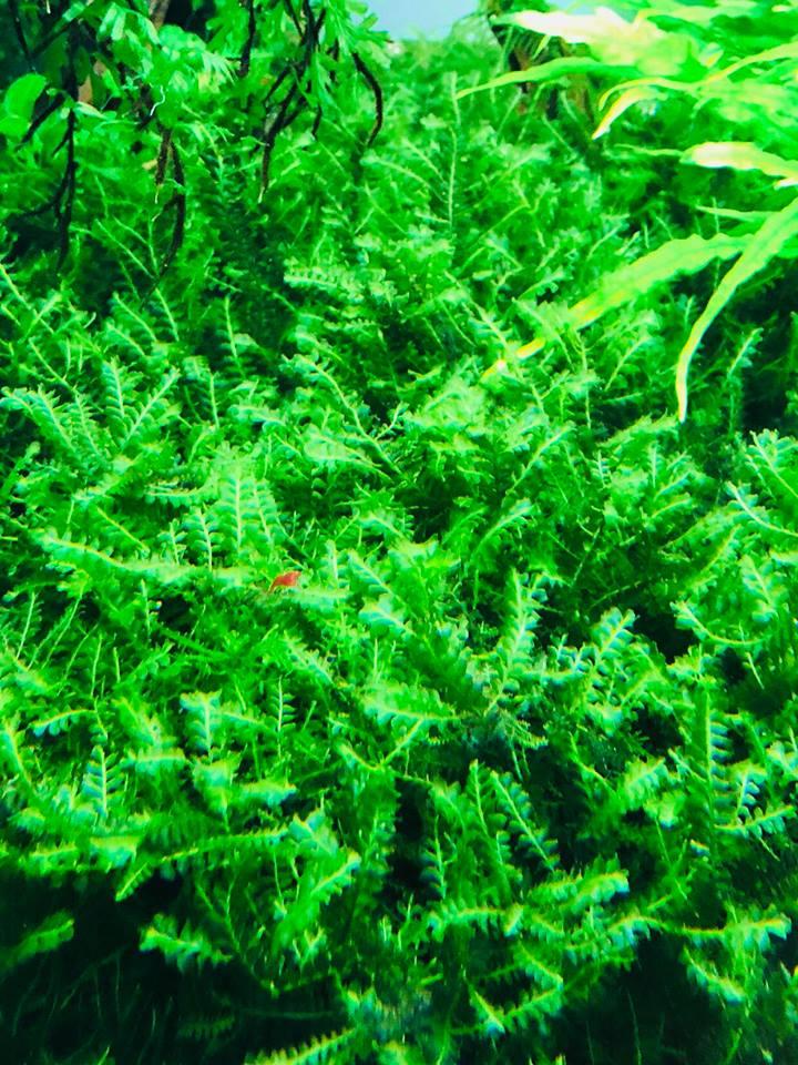 Cận cảnh rêu thủy sinh Cameroon