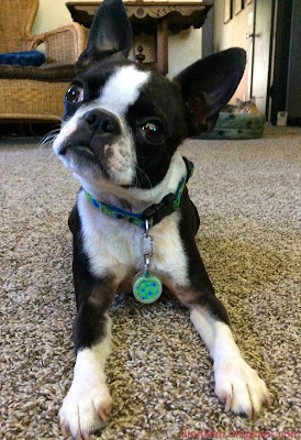 Boston terrier head tip