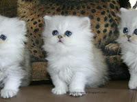 4 Cara Merawat Kucing Persia
