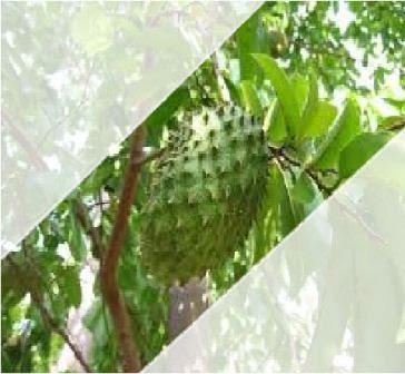 Cara mengolah buah sirsak mangkal menjadi kolak pandan