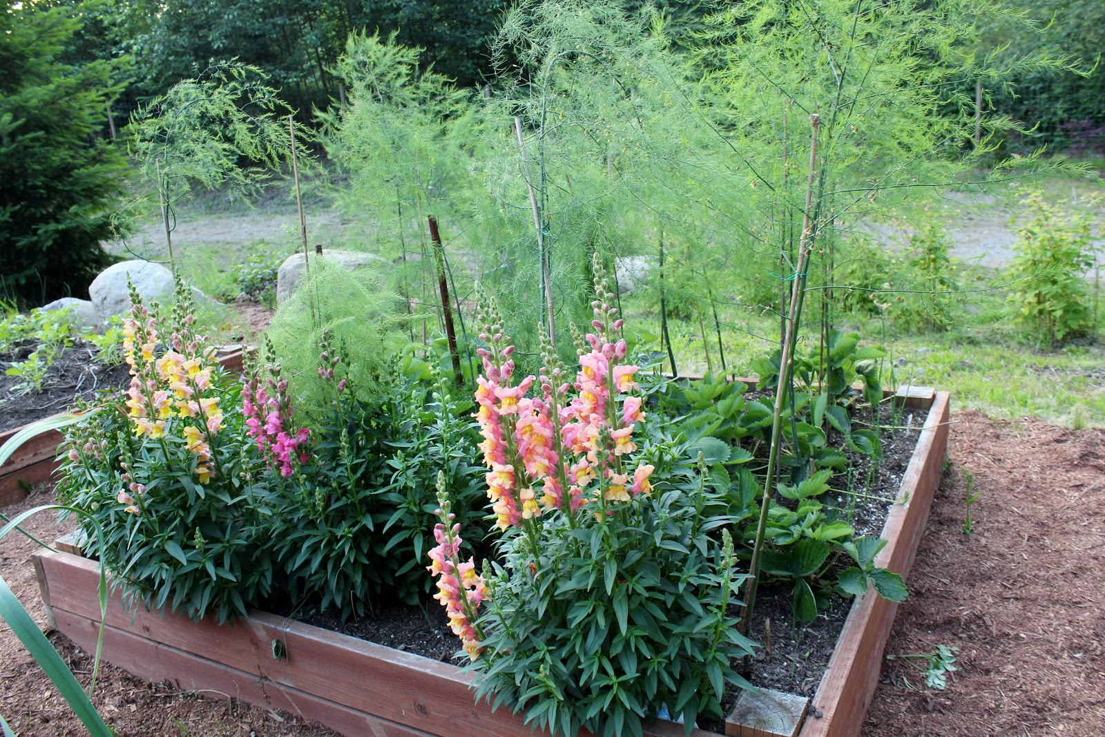 The Nitty Gritty Potager: Planting Asparagus Planting Asparagus In The Fall
