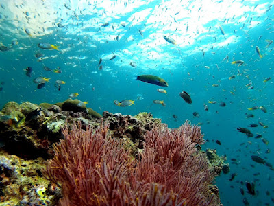 Photo of corals and fish whilst diving on the Phi Phi Islands