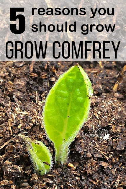 Here are 5 reasons why I grow comfrey and why you should grow it in your garden too!