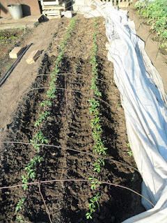 Половина грядки помидоров замульчирована, а другая - окучена