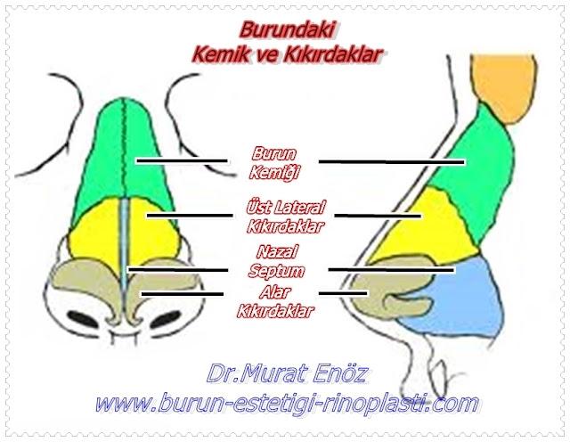Burunu Oluşturan Kemikler ve Kıkırdak Dokular - Burun Anatomisi