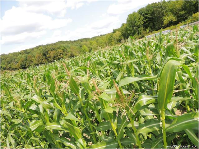 Cider Hill Farm: Plantación de Maíz