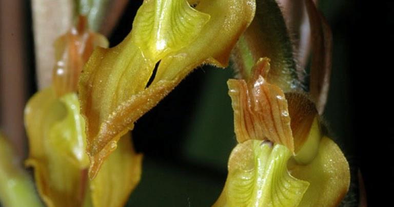 Orquideas mexicanas sarcoglottis sceptrodes for Ta 2s 0138