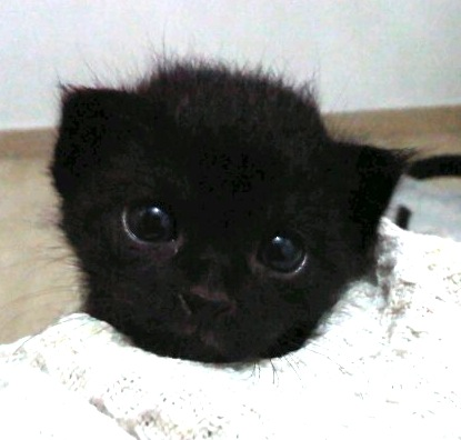 The Rehomers: [rehomed!] ADOPT: 2wo pure black baby boy kitten