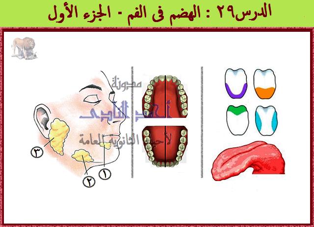 الهضم فى الإنسان -الهضم فى الفم - الأسنان -اللسان - الغدد اللعابية - مدونة أحمد النادى - أحياء الثانوية العامة