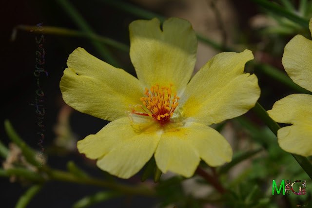 Metro Greens: Yellow portulacas