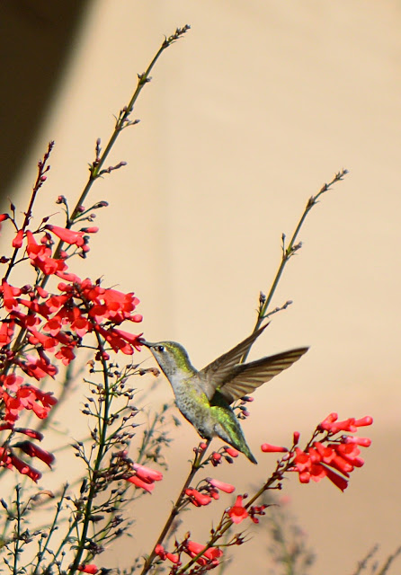 hummingbird, anna's, photography, amy myers, journal of a thousand things, desert garden