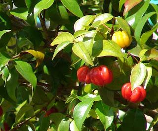 Manfaat dan Khasiat Tanaman Dewandaru (Eugenia Uniflora)