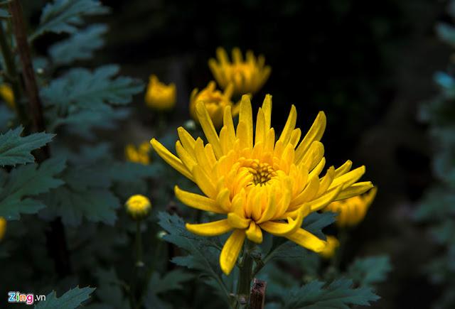 y nghia hoa cuc vang