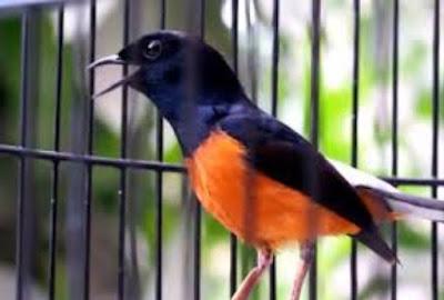 Cara Dan Tips Setting Dasar Burung Murai Batu Sebelum Lomba Yang Bisa Anda Coba