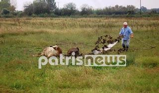 Τρόμος κυριεύει τον αγροτικό κόσμο στον κάμπο της Ηλείας