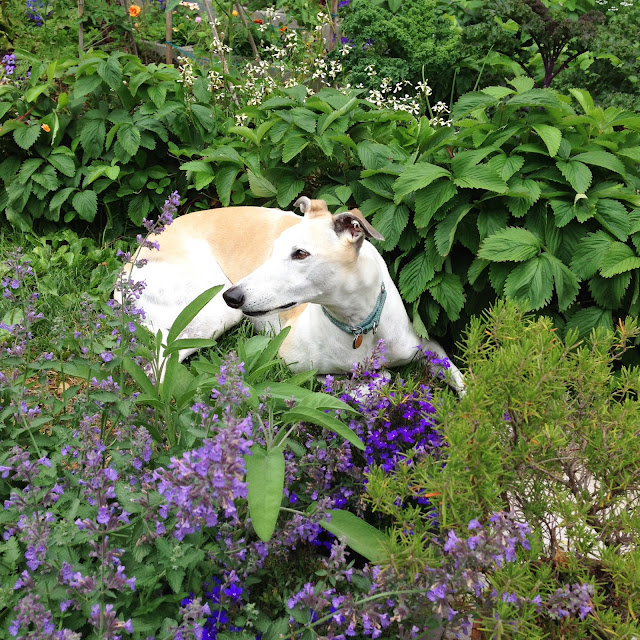 greyhounds, garden, rescued greyhounds, greyhound rescue, garden, sage, catmint, rosemary, strawberries, Anne Butera, My Giant Strawberry