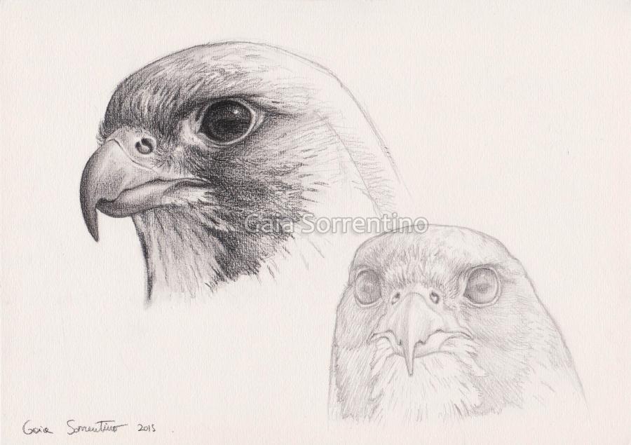 Gaia sorrentino disegnatrice naturalista studio di for Lupo disegno a matita