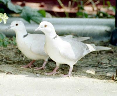 صور اجمل طيور الحمام بيضاء اللون