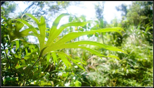 【二格山】植物:猴山岳、阿柔洋山、二格山、南邦寮山