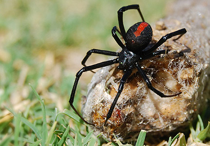 what is a black widow spider the garden of eaden. Black Bedroom Furniture Sets. Home Design Ideas