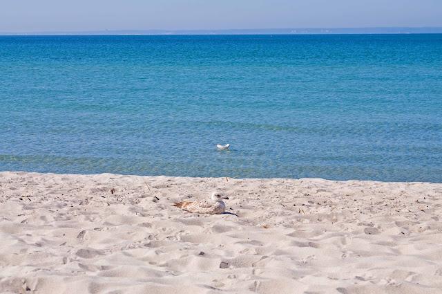 plaża Hel, czysty piasek, mewa, Bałtyk