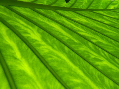 Allan Gardens Conservatory Philodendron leaf underside backlit by garden muses-not another Toronto gardening blog