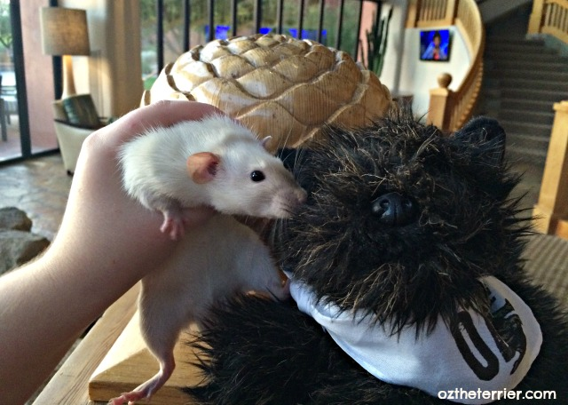 Little Oz with Jasper the rat at BlogPaws