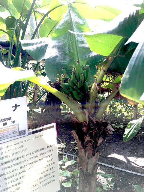 熱帯エリア バナナの木 ときわ公園、植物園もリニューアル。 プラントハンター西畠清順が手がける?