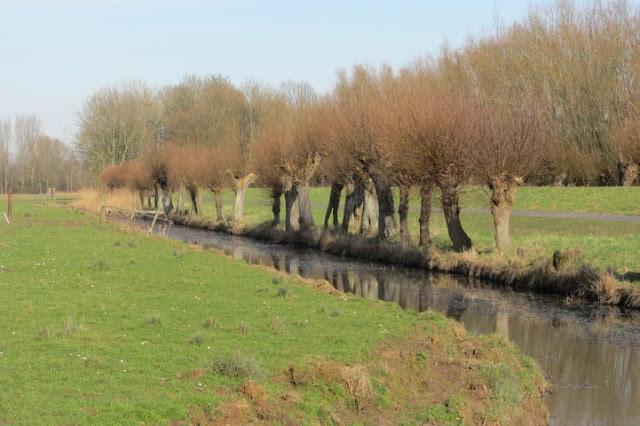 Dordrecht - geknotte wilgen in Biesbosch