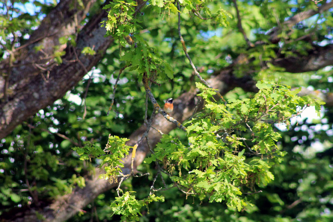 Codirosso sulla quercia