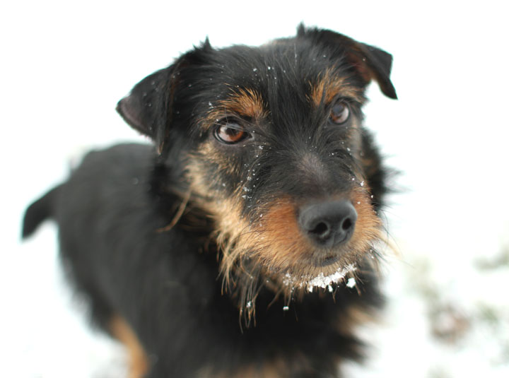 Meeka - Yorkshire Terrier mix