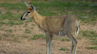 duiker african animal pictures