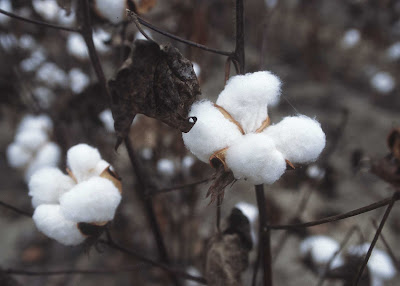 Open Cotton Boll