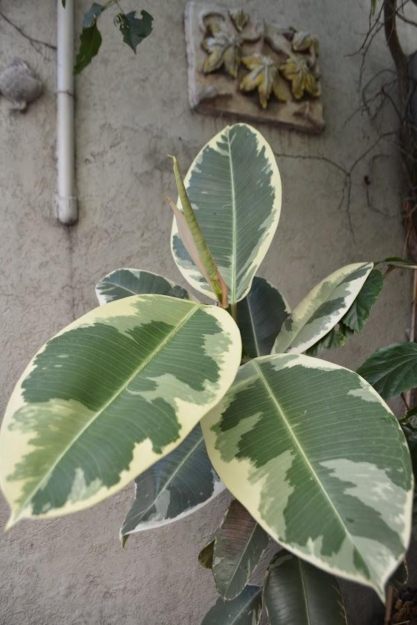 Ficus Elastica variegada.