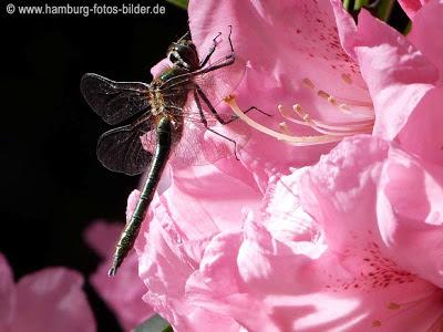 Libelle auf der Rhododendron Blüte