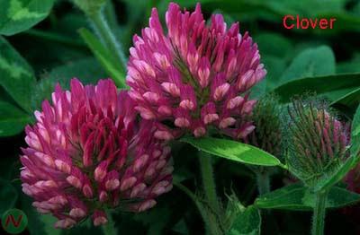 clover flower, clover