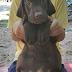 ขายลูกสุนัขลาบราดอร์แท้