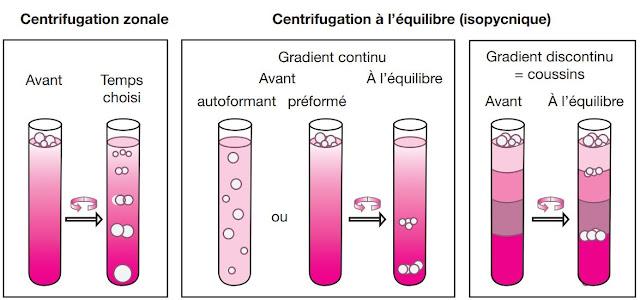 différents types de centrifugation sur gradient