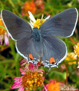 Common Grey Hairstreak Butterfly